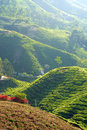 Tea plantation picture of taken at cameron highlands pahang malaysia Stock Image
