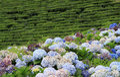 Tea plantation at Sao Miguel (Acores) 02 Royalty Free Stock Photo