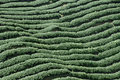Tea plantation in south east asia Stock Photos