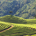 Tea plantation spring in china Stock Photography