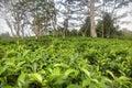 The tea plantation Royalty Free Stock Photo