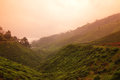 Tea plantation at sunset golden over a Stock Photography