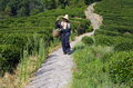 Tea plantation worker in longjing a man coming from picking Stock Images
