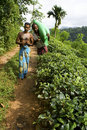 Tea plantation workers in Sri Lanka Royalty Free Stock Photo