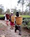 Tea plantations 11 Royalty Free Stock Photo