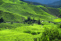 Tea Plantations Stock Images
