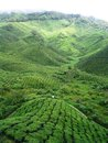 Čaj plantáže
