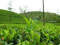 Tea plantations Royalty Free Stock Image