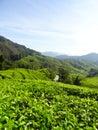 Tea plantations Brinchang Cameron Highlands Malaysia Royalty Free Stock Photo