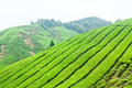 Tea plantations in the Cameron Highlands, Malaysia Royalty Free Stock Photo