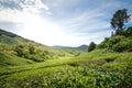 Tea plantations in Cameron Highlands, Malaysia Royalty Free Stock Photo