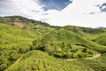 Tea plantations in the Cameron highlands, Pahang State, Malaysia. Southeast Asia Royalty Free Stock Photo