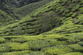 Tea plantations on Cameron Highlands. Tanah Rata, Malaysia. Royalty Free Stock Photo