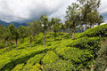 Tea plantations in india province kerala Royalty Free Stock Photos