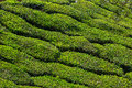 Tea plantations in india province kerala Royalty Free Stock Images