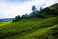 Tea plantations in Malaysia Royalty Free Stock Photo