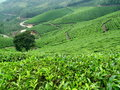 Tea plantations in munnar kerala southindia Royalty Free Stock Image