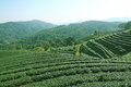 Tea plantations of northern thailand Royalty Free Stock Photos