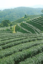 Tea plantations of northern thailand Royalty Free Stock Images