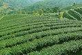 Tea plantations of northern thailand Stock Photography