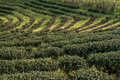 Tea plantations on sunset. Royalty Free Stock Photo