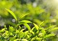 Tea plants in sunbeams Royalty Free Stock Photo