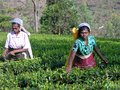 Tea plucking in South India Royalty Free Stock Photos