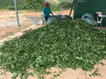 Tea production Royalty Free Stock Photo