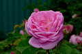 tea rose Royalty Free Stock Photo