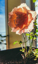 Tea rose with backlight Royalty Free Stock Photo
