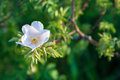 Tea rose white garden in sun light closeup Royalty Free Stock Photo