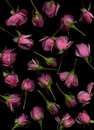 Tea roses on black background Royalty Free Stock Photos