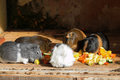 Tea time guinea pigs of different colors eating fruits Stock Images