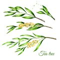 Tea tree set. Cosmetics and medical plant. Watercolor hand drawn illustration, isolated on white background