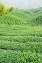 Tea trees on hill Stock Image