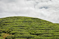 Tea trees at the plantations in Cameron Highlands, Malaysia Royalty Free Stock Photo