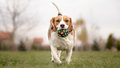 Teaching your dog to play fetch beagle Stock Photography
