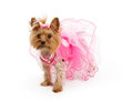 Teacup Yorkshire Terrier in Pink Outfit Stock Photos