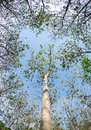 Teak wood tree against blue sky Royalty Free Stock Photo