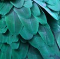 Teal Blue Macaw Feathers Royalty Free Stock Photo