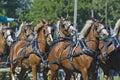 Team of Belgian Draft Horses at Country Fair