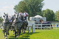 Team of grey percherons at country fair draft horses south mountain http southmountainfair ca Royalty Free Stock Images