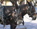 A team of mules hitched up. Royalty Free Stock Photo