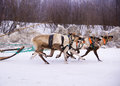 Team of rein-deers skims over the snow path. Stock Images
