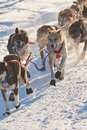 Team of sleigh dogs pulling Royalty Free Stock Images