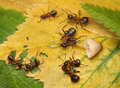 Teams of ants fight for mushroom   Royalty Free Stock Image