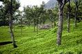 Teaplantation,India Royalty Free Stock Photo