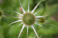 Teasel close up birds eye view of a before blooming Royalty Free Stock Photos