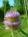Teasel dipsacus fullonum detail in a sunny farm field with nice colours like mediumpurple springgreen limegreen and blue sky Stock Images