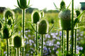 Teasel flowers Royalty Free Stock Photo